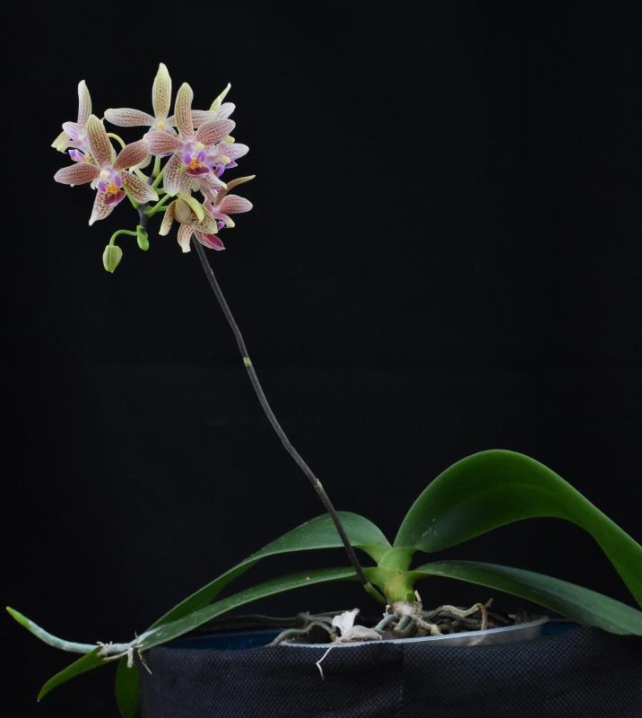 Phalaenopsis equestris x kunstleri (Musick Mini Dots) Nr_63812