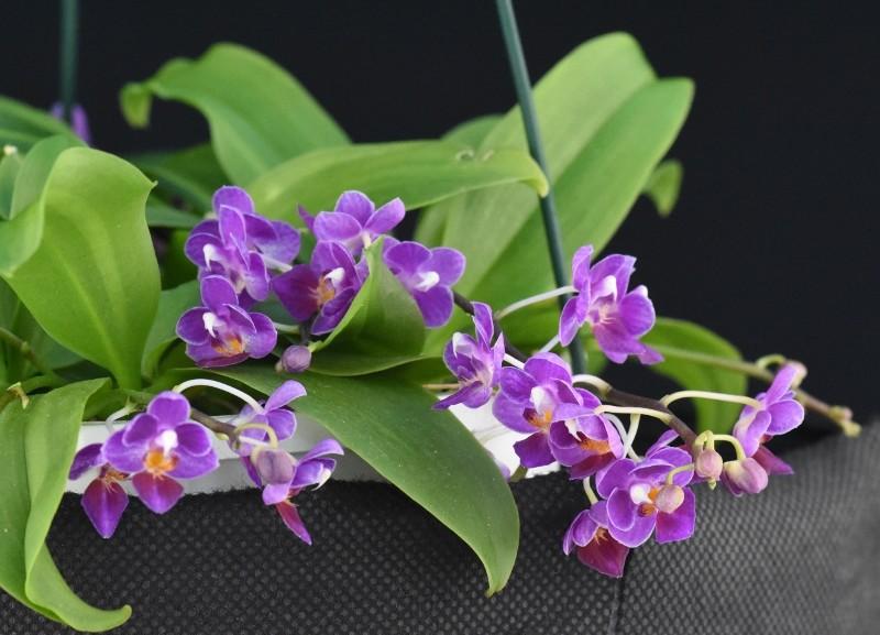 Phalaenopsis appendiculata x equestris (Tassanee Jongdamkerng) Nr_70113