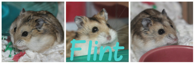 The new hammy! (Totally unexpected!) Flintc10