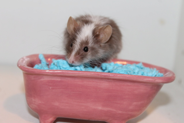 The mice and a (pretend!) bathtub :) Img_1113