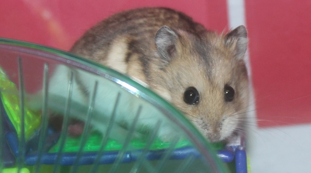The new hammy! (Totally unexpected!) Img_8811