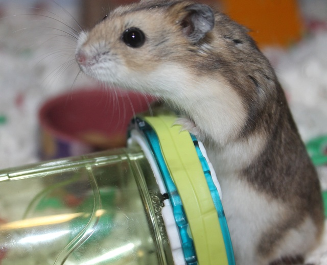 The new hammy! (Totally unexpected!) Img_8816