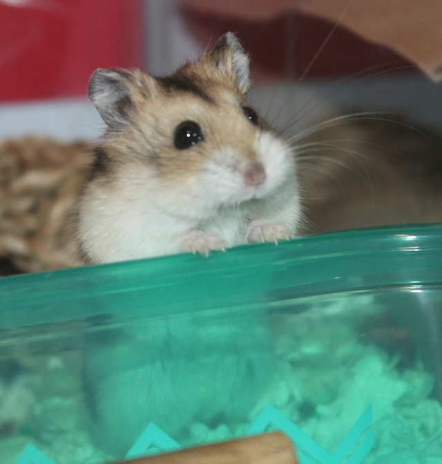 Rest in peace, Flint the hamster ♥ Img_8818