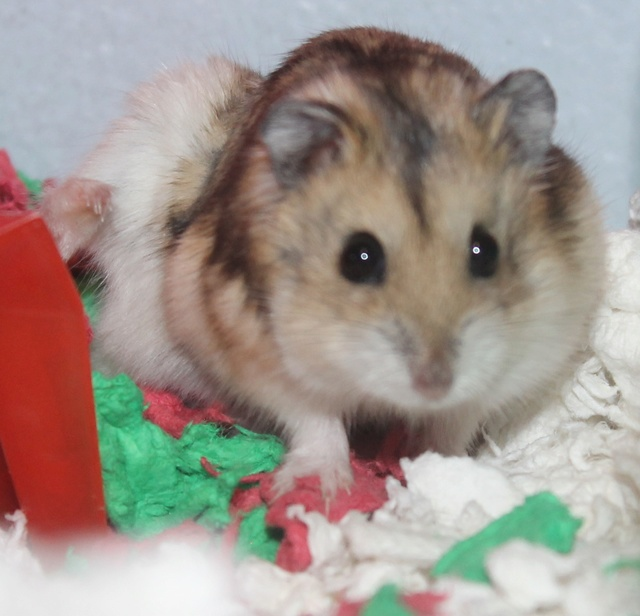 Rest in peace, Flint the hamster ♥ Img_8819