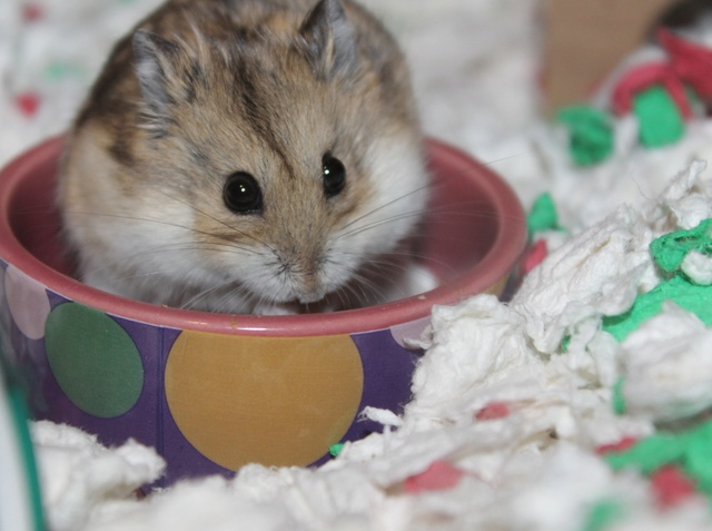 The new hammy! (Totally unexpected!) Img_8912