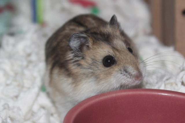 Rest in peace, Flint the hamster ♥ Img_8932