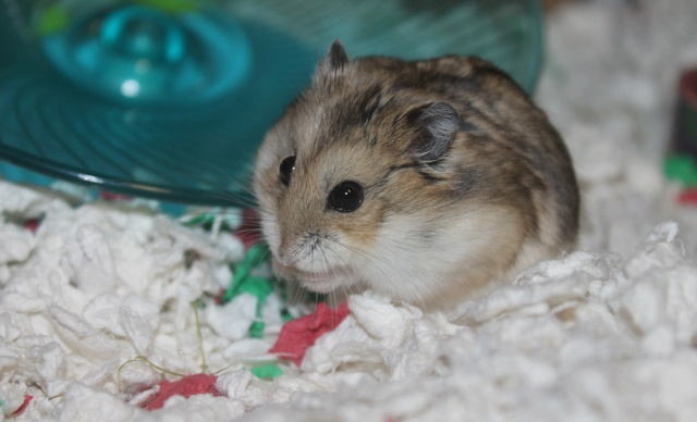 Rest in peace, Flint the hamster ♥ Img_8933