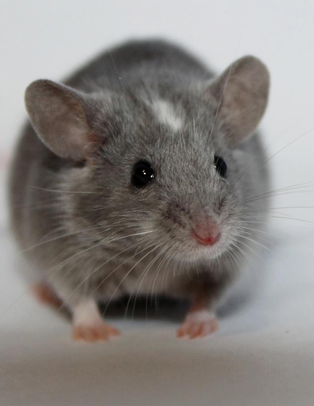 Lilac  Mice_r10