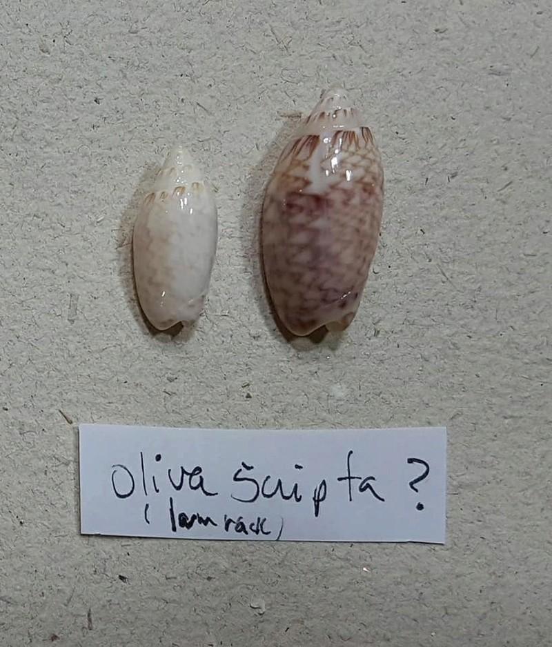 Americoliva reticularis lilacea (Paulmier, 2013) Olivid11