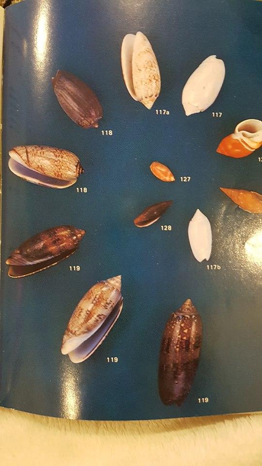oliva reticularis (ou americoliva fulgator? Ref_li10