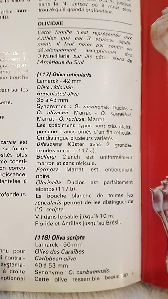 oliva reticularis (ou americoliva fulgator? Ref_li11