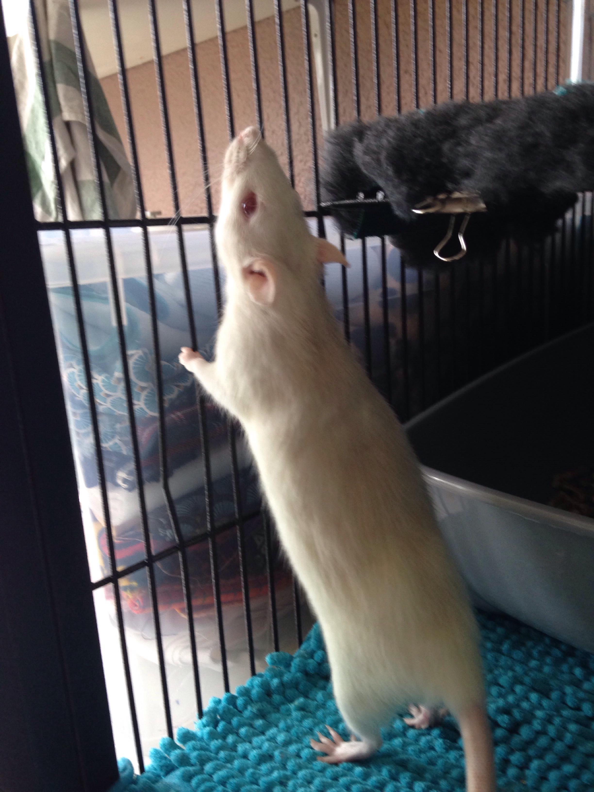 Les 3 p'tits rats 33573410