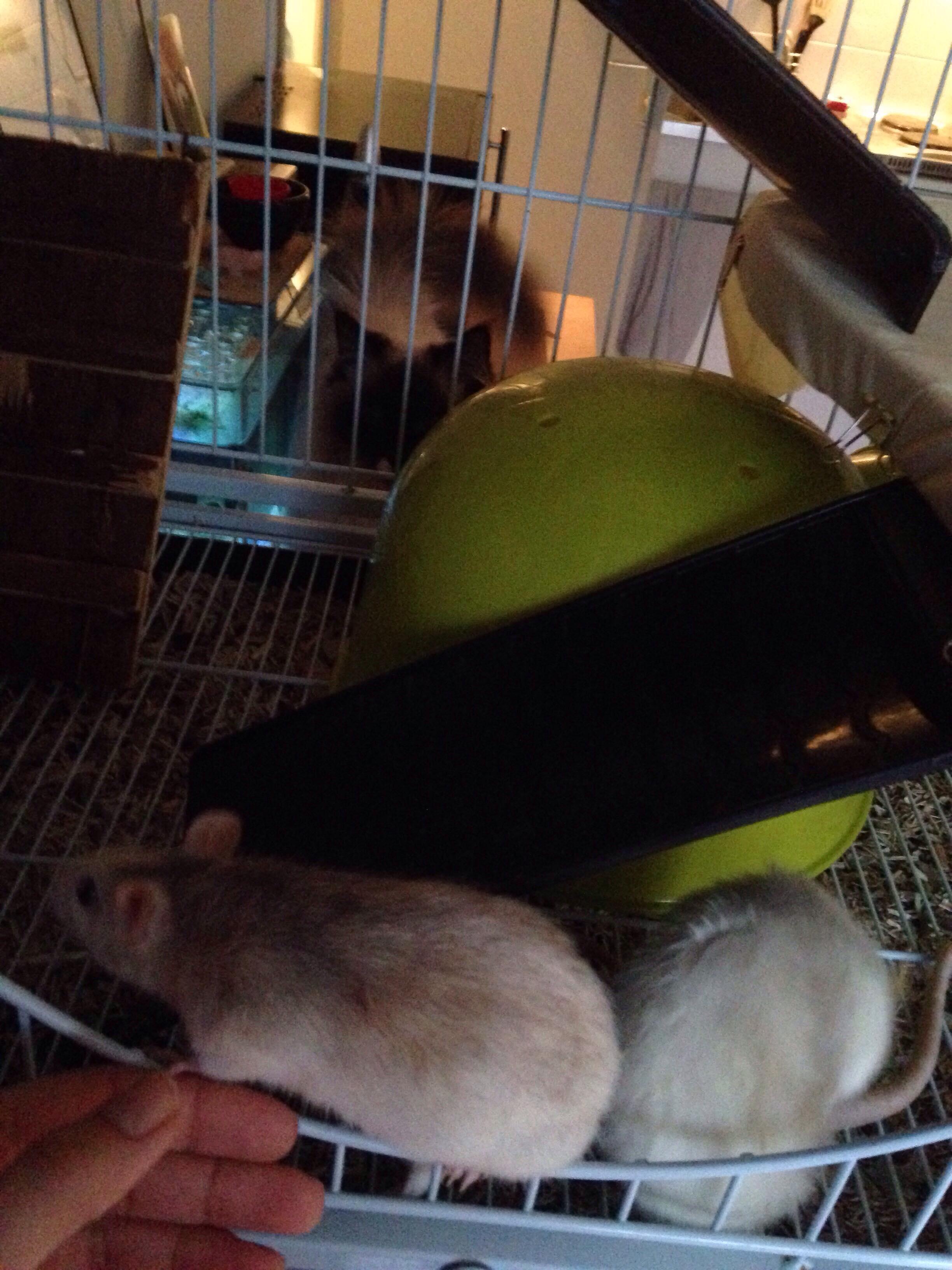 Les 3 p'tits rats 33634110