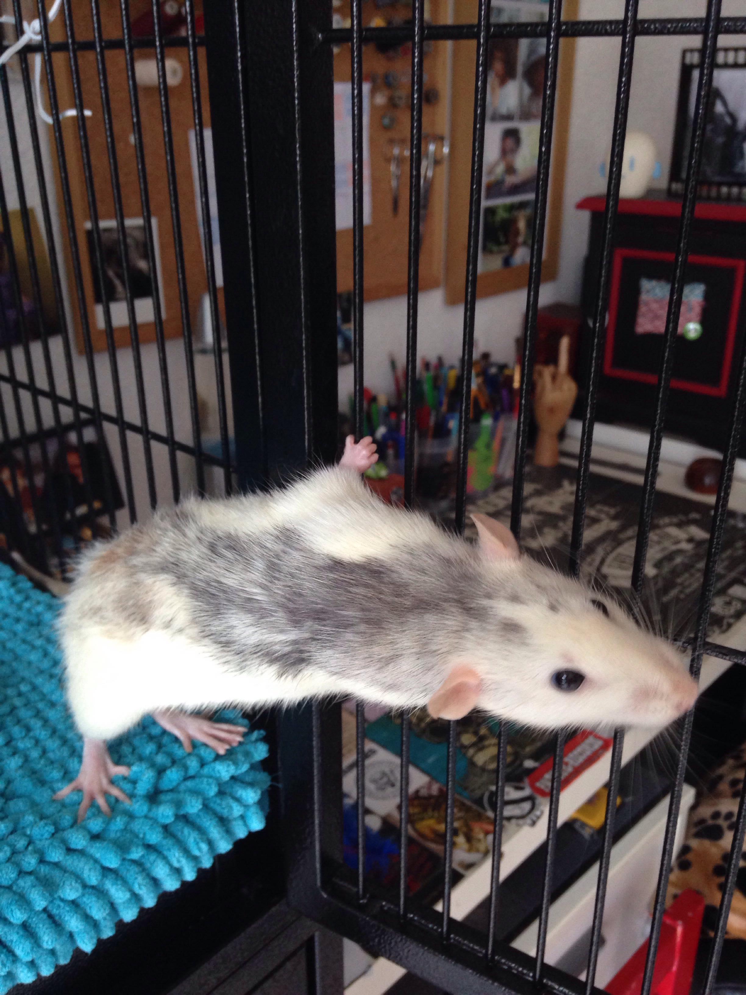 Les 3 p'tits rats 33657810