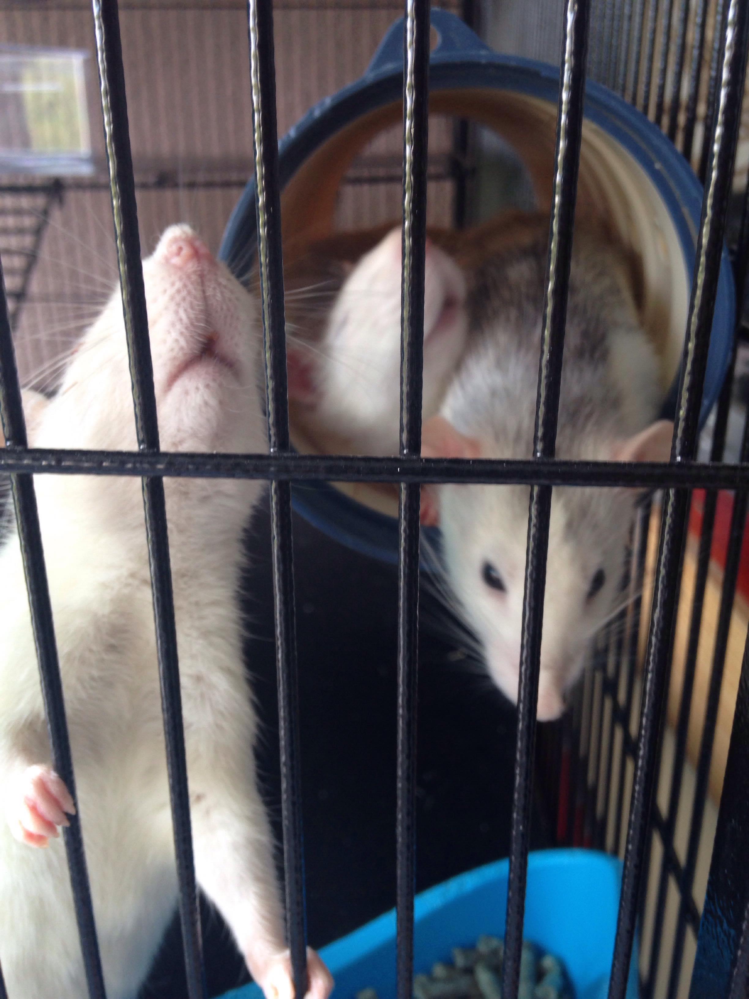 Les 3 p'tits rats 33688010