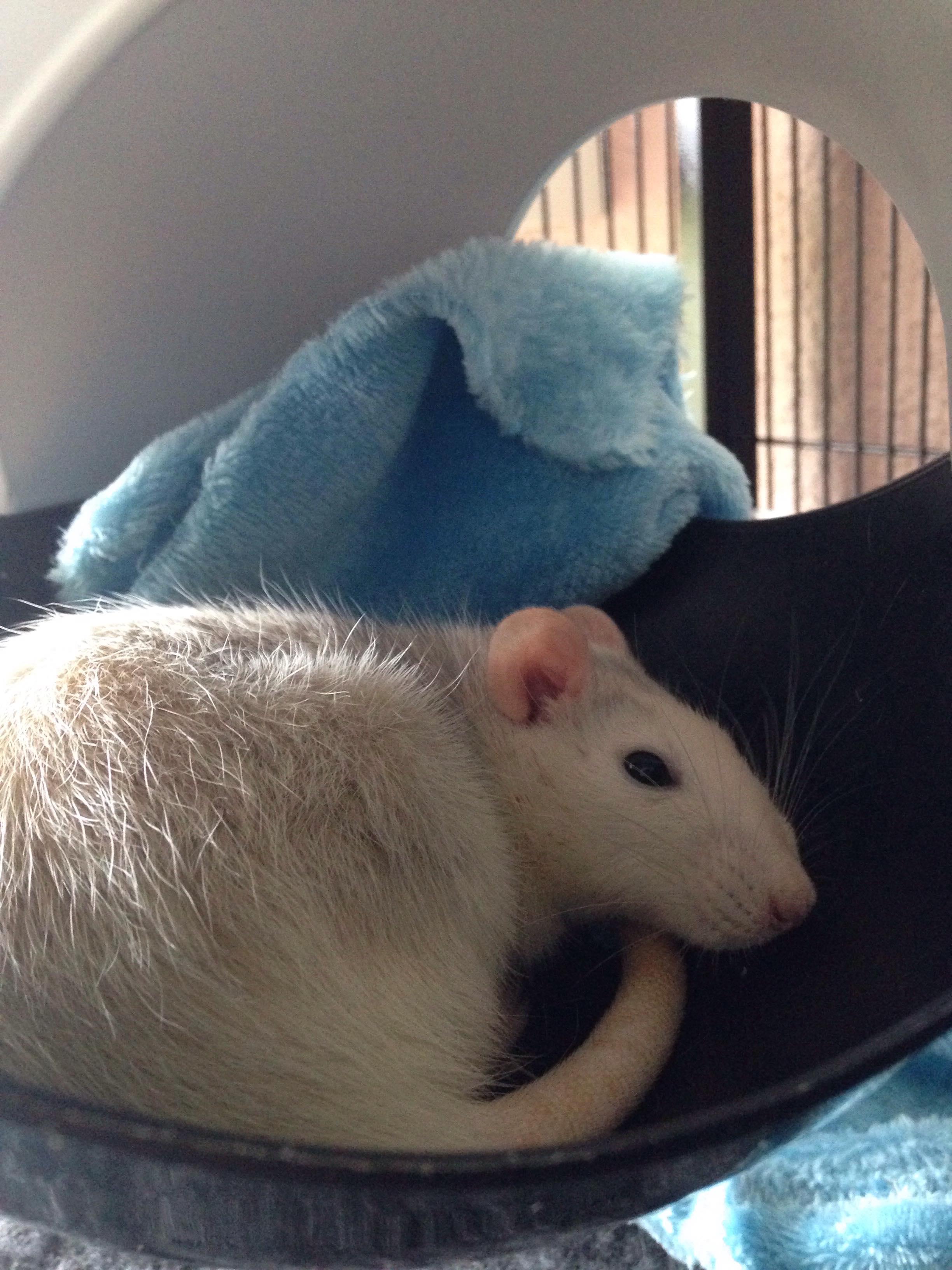 Les 3 p'tits rats 33691410