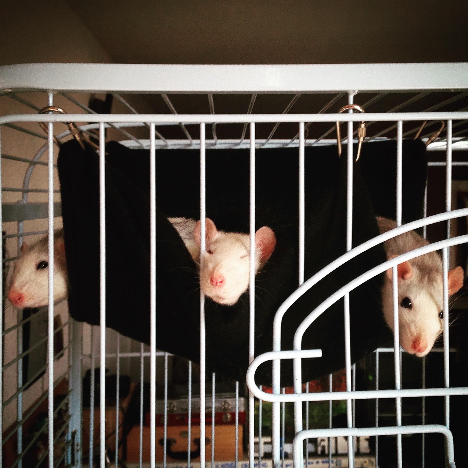 Les 3 p'tits rats 33694310