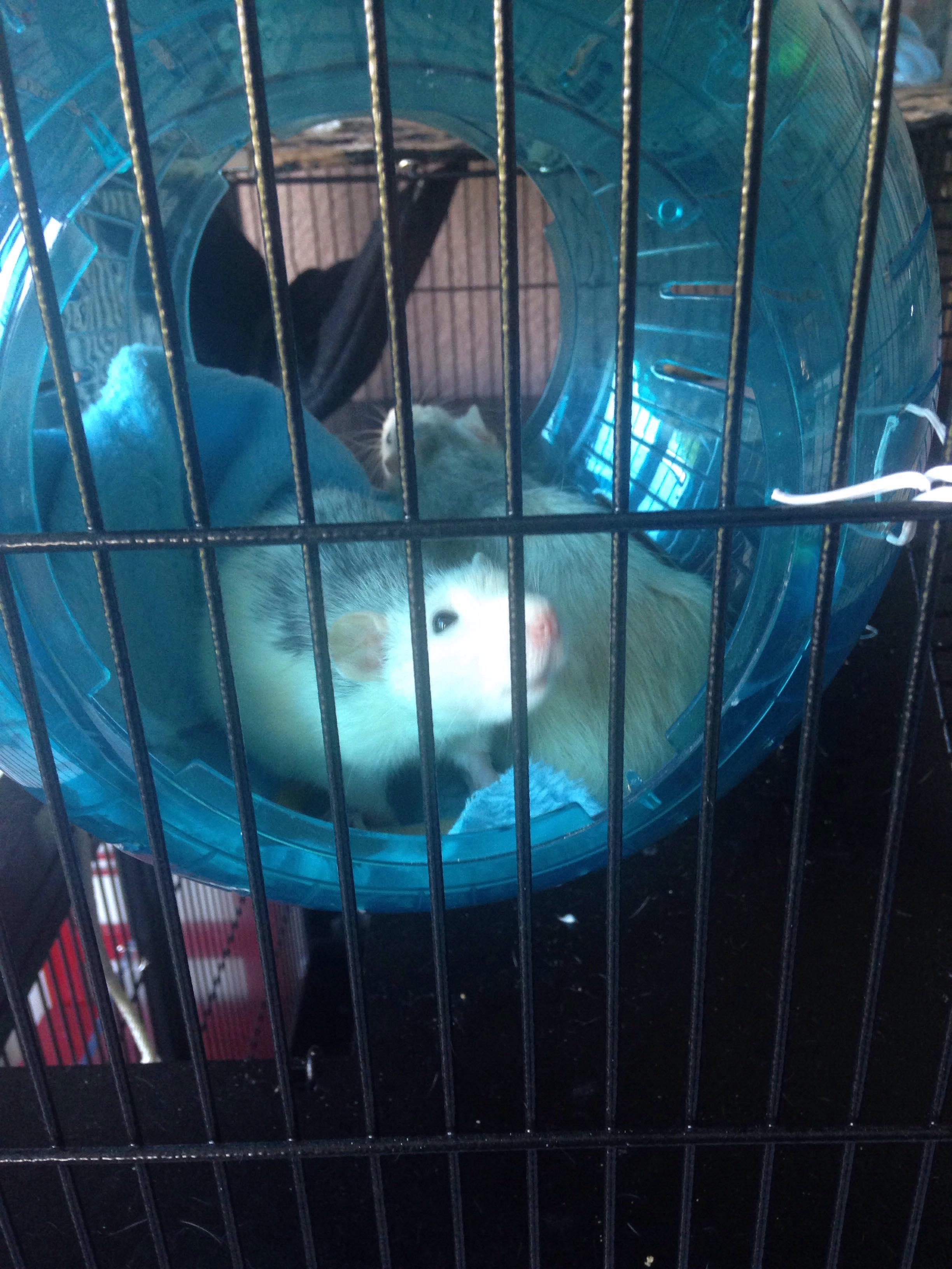 Les 3 p'tits rats 33720410