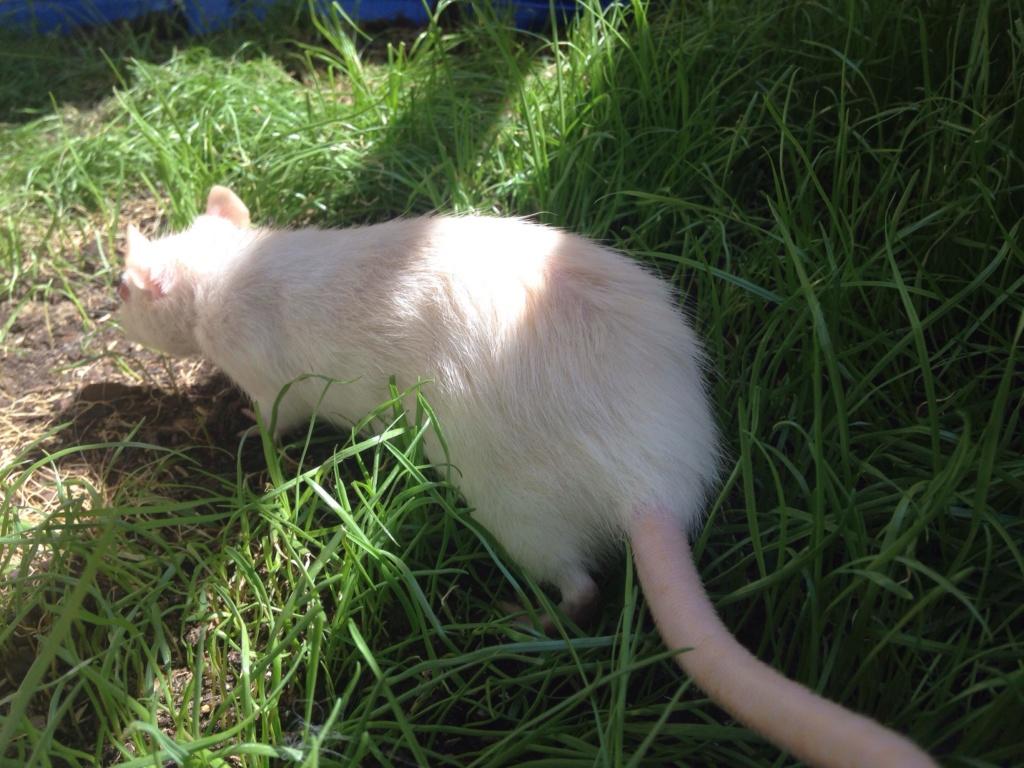 Les 3 p'tits rats 37807710