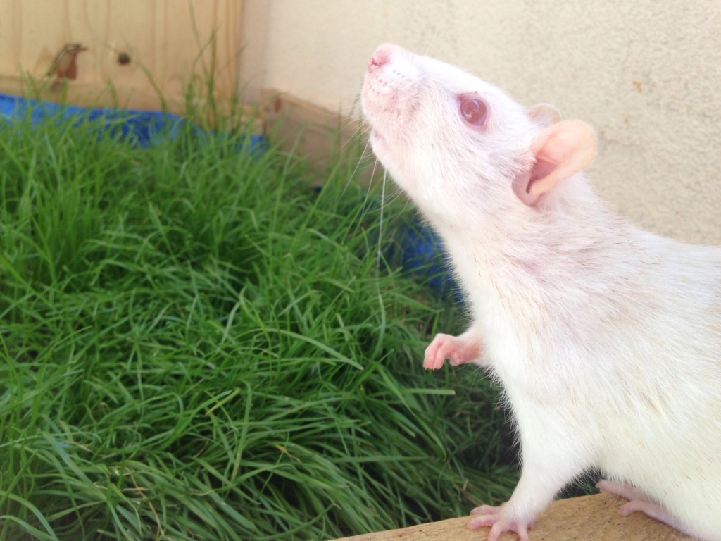 Les 3 p'tits rats 37821810