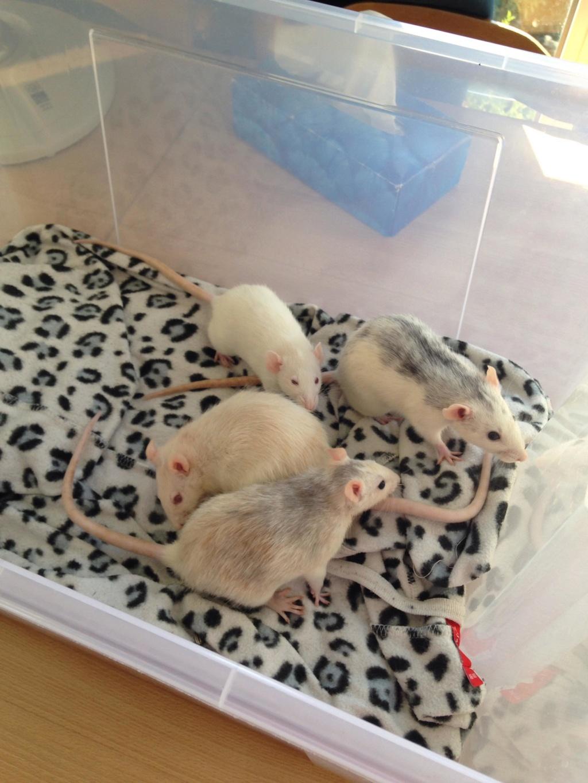 Les 3 p'tits rats 40093910