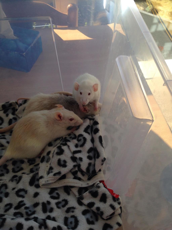 Les 3 p'tits rats 40162310
