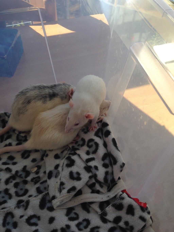 Les 3 p'tits rats 40178310