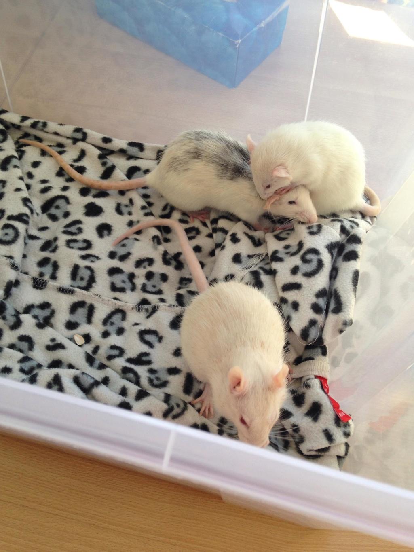 Les 3 p'tits rats 40215510