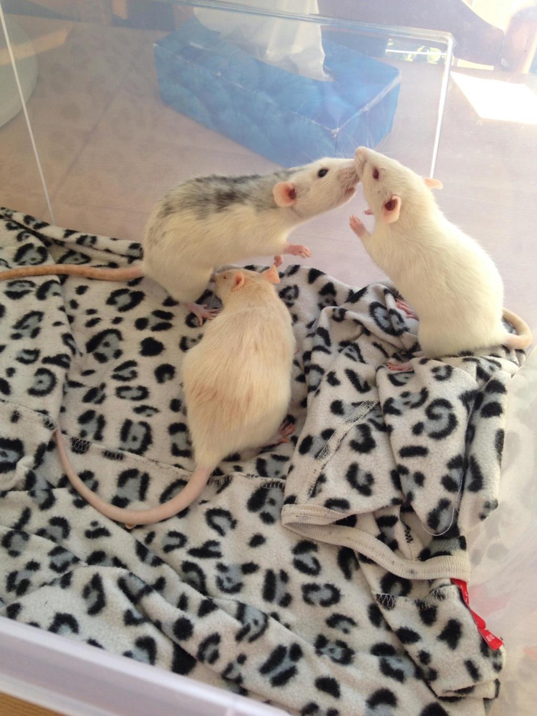 Les 3 p'tits rats 40227110