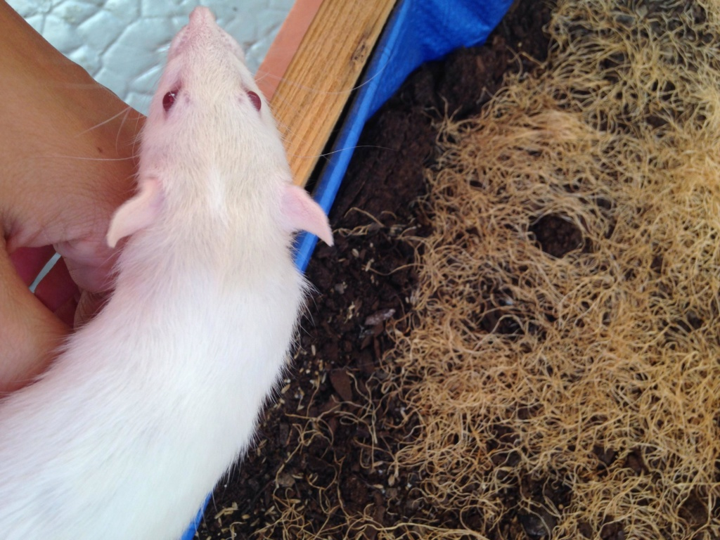 Les 3 p'tits rats 40235210