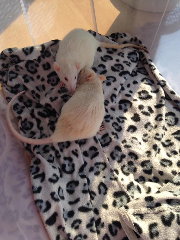Les 3 p'tits rats 40309710