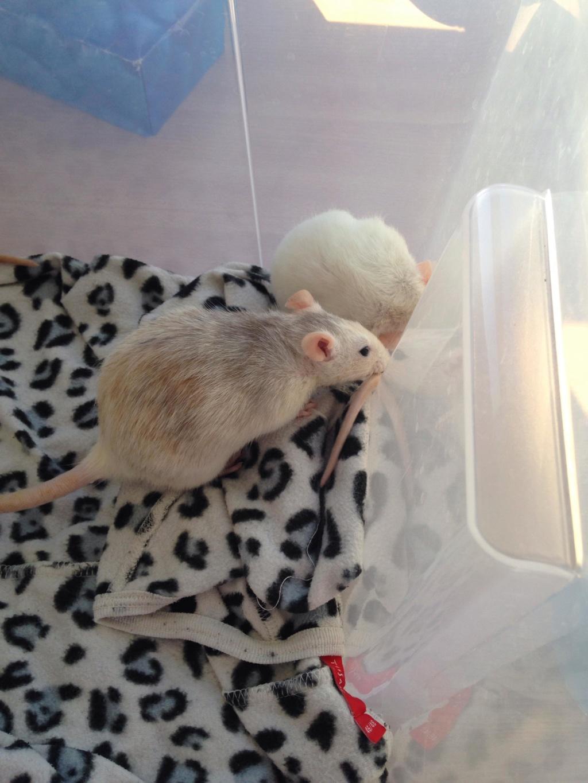 Les 3 p'tits rats 40365410