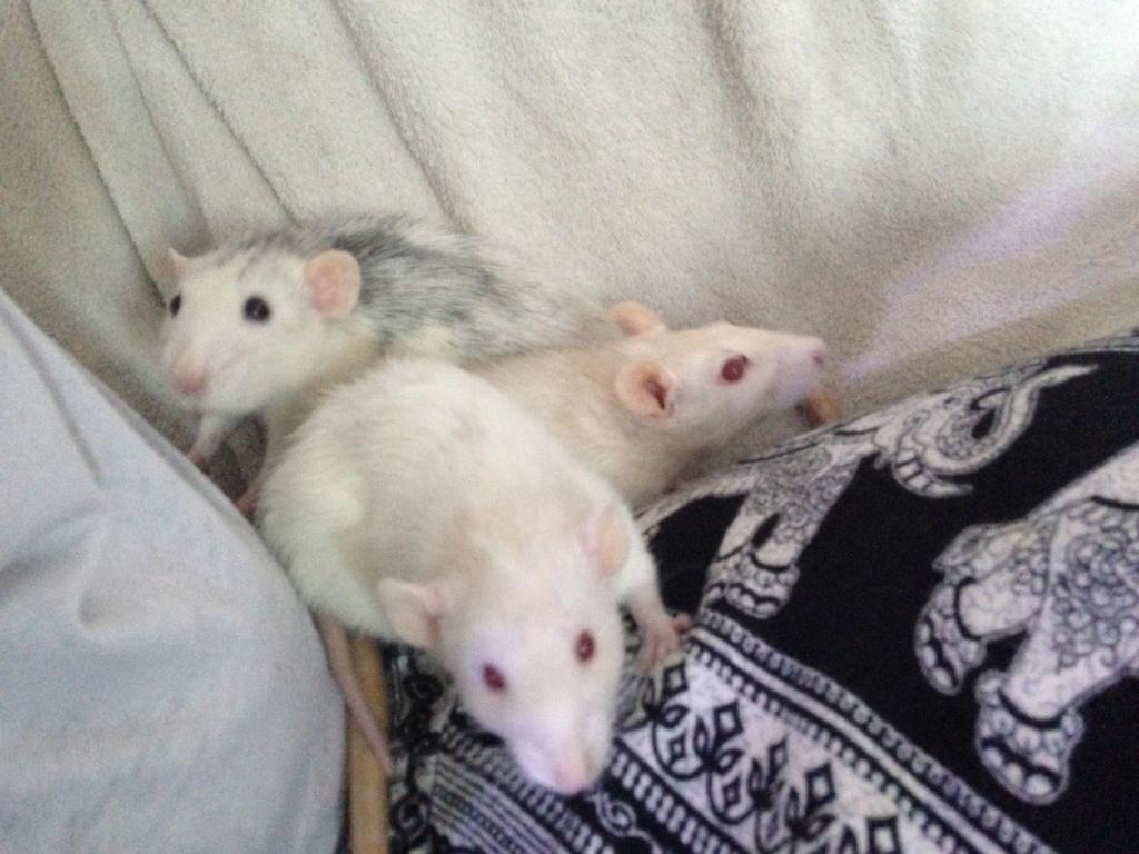 Les 3 p'tits rats - Page 2 41536310