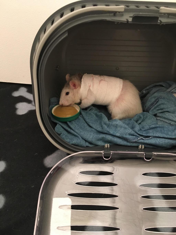 Le rat saucisson - Protéger une plaie après opération - Page 10 52002711