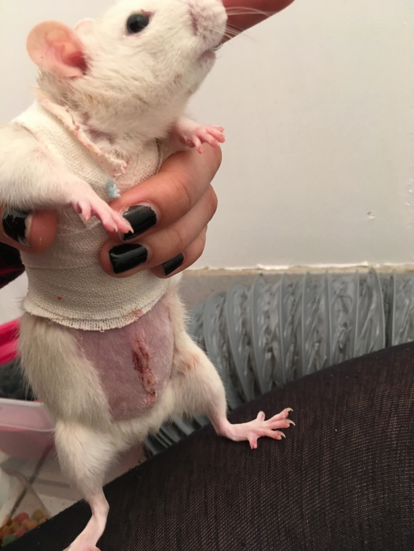 Le rat saucisson - Protéger une plaie après opération - Page 10 52100011