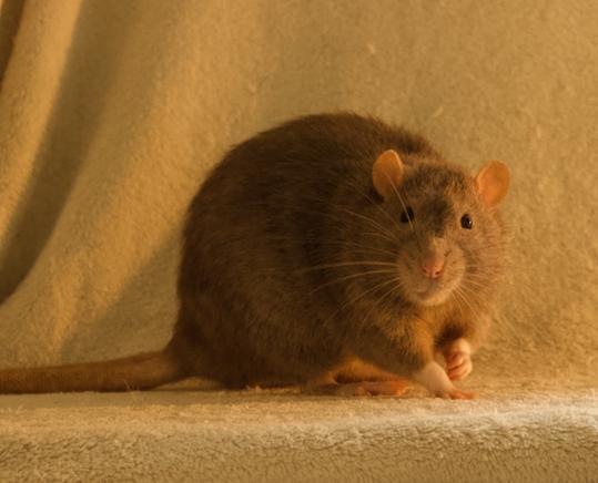 Les 3 p'tits rats - Page 17 Captur40