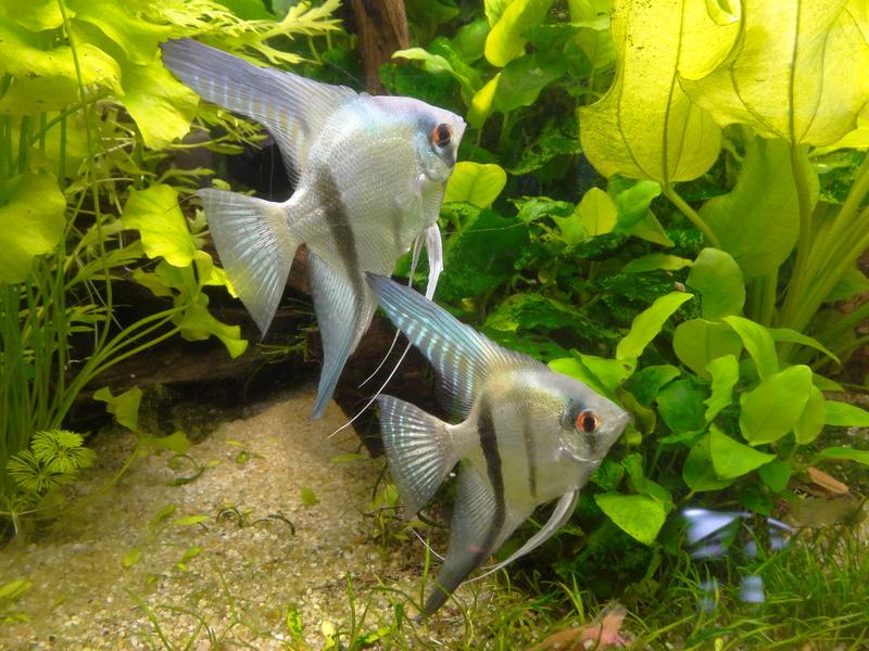 Repro Scalaires bleus: (600L Amazonien de Pataqua) 20161210