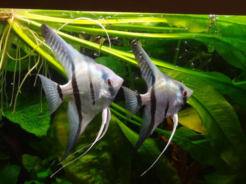 Repro Scalaires bleus: (600L Amazonien de Pataqua) - Page 4 20180212
