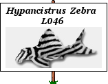 photos du moment hypancistrus zébra L46 Gs_2b010