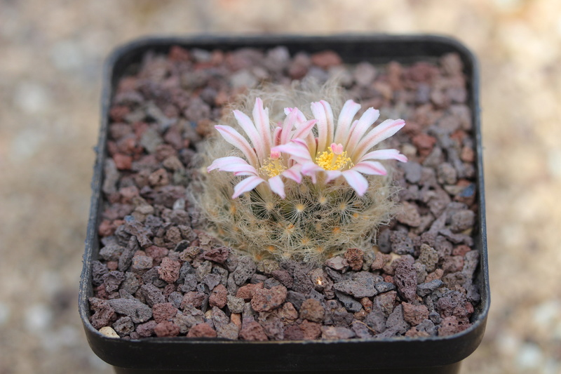 Mammillaria aureilanata v. alba Img_4610