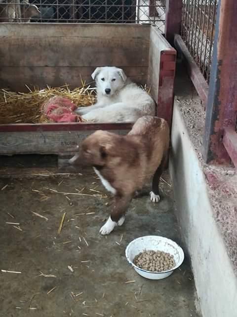 OSAWA, M-X, 16KG, né 2015 (FOURRIERE ORASTIE) - Adopté via Refuge GALIA Fb_i4759