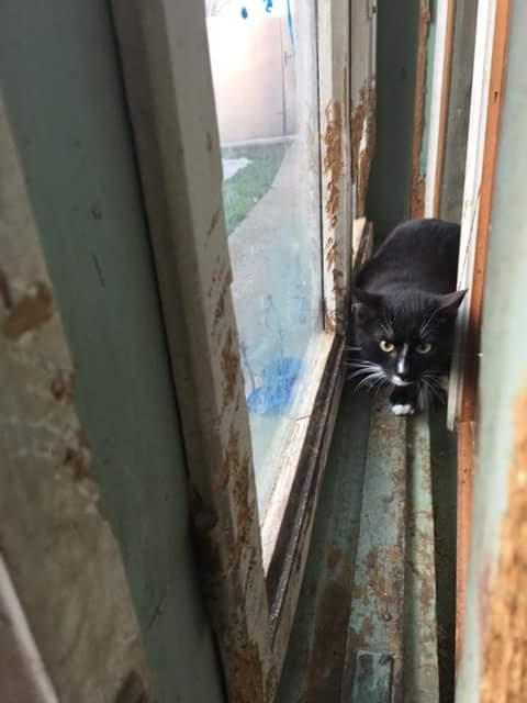 BLACKY chat noir & blanc ~08/2017 - ORASTIE - réservé karen claude Fb_i5148