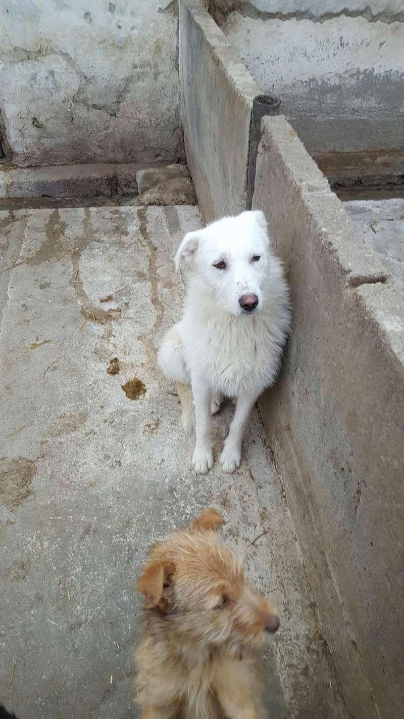 OSAWA, M-X, 16KG, né 2015 (FOURRIERE ORASTIE) - Adopté via Refuge GALIA Rece1386