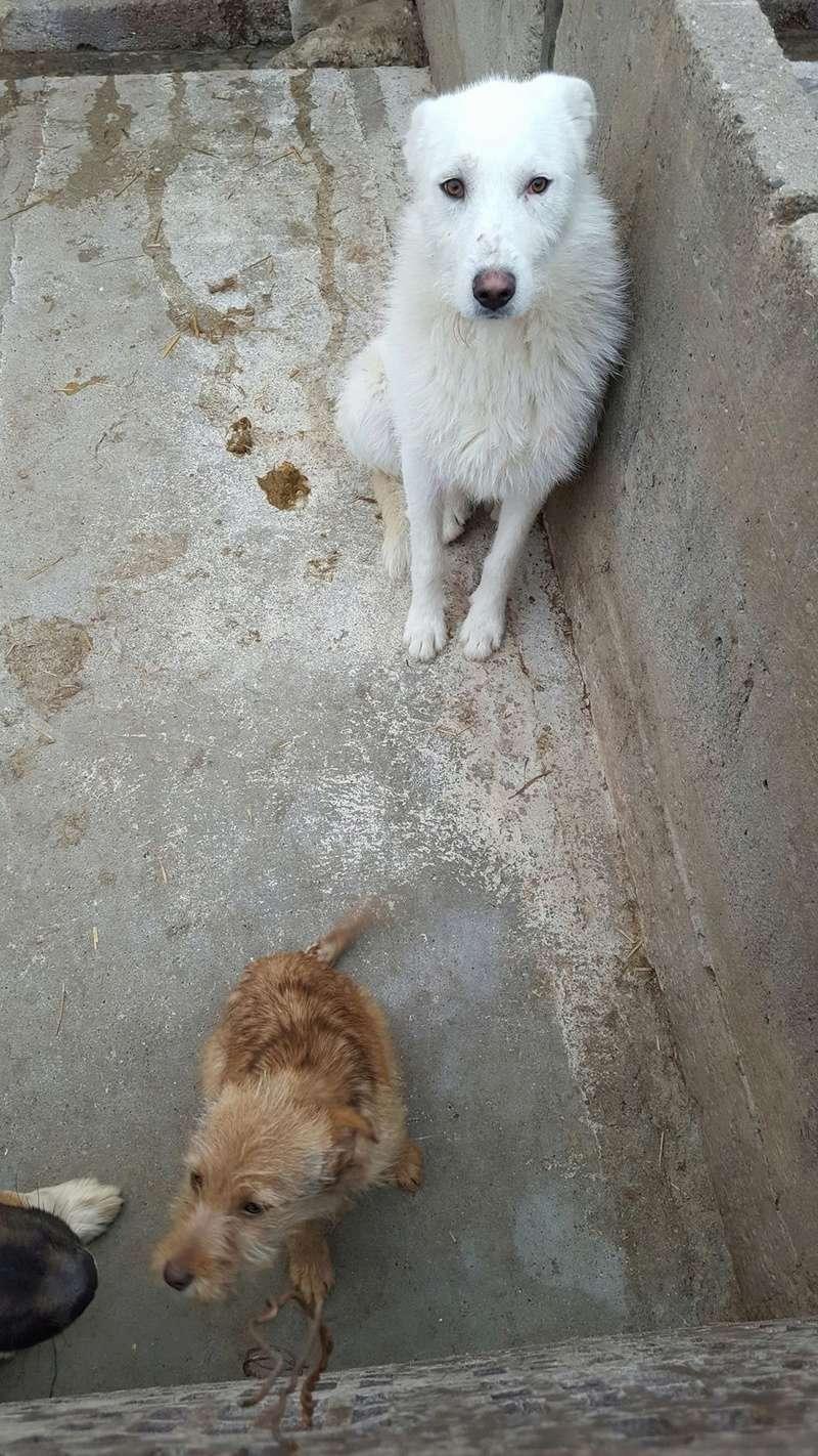 OSAWA, M-X, 16KG, né 2015 (FOURRIERE ORASTIE) - Adopté via Refuge GALIA Rece1387