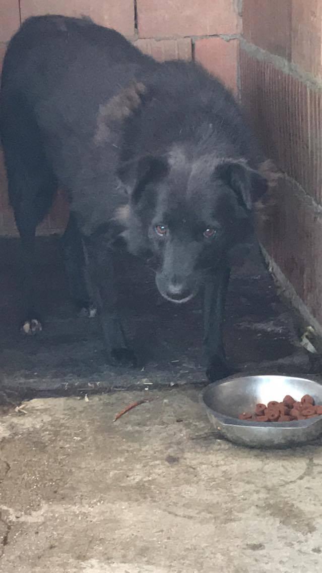 EBONY M-X 4 ans taille moyenne 15KG-FOURRIERE ORASTIE- Un chien noir timide-En pension à Timisoara - Page 5 Receiv16