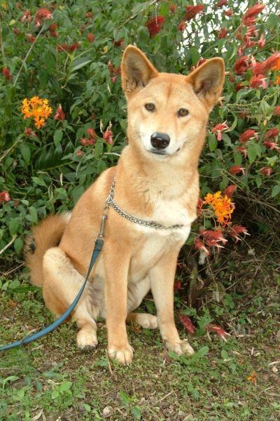 La domestication Dingo-10