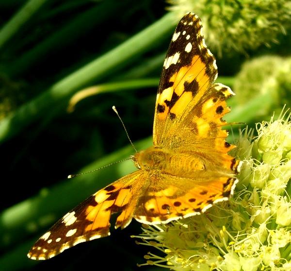 Легенды о бабочках. 0_5b7e10