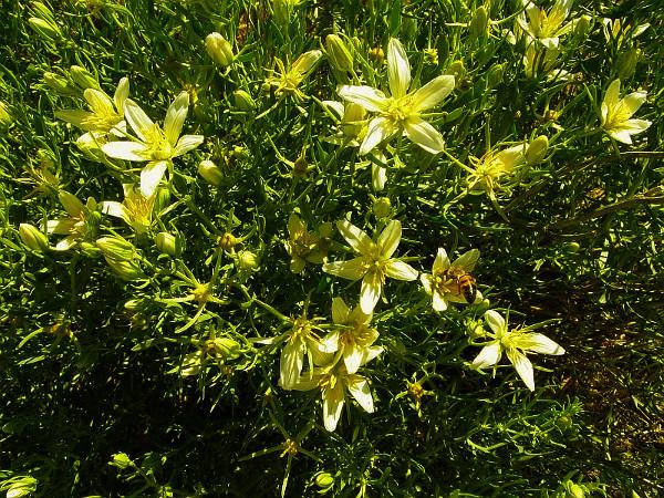 Магическая трава Гармала. Garmal10