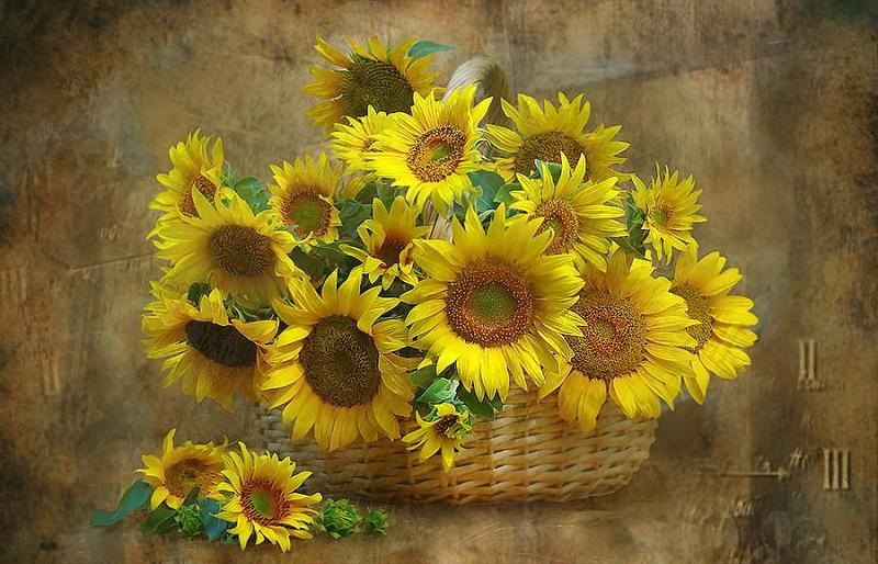 Suncokreti-sunflowers - Page 27 0_da0d10