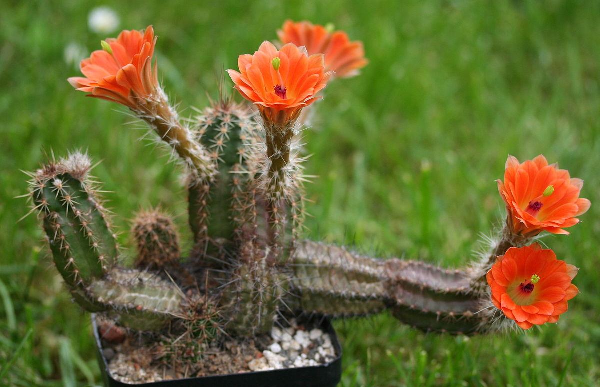 Kaktusi - Page 35 1200px25